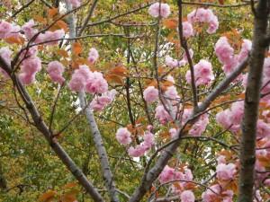 180411八重桜