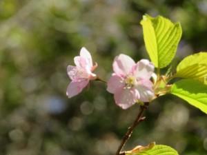 200224-3彼岸桜